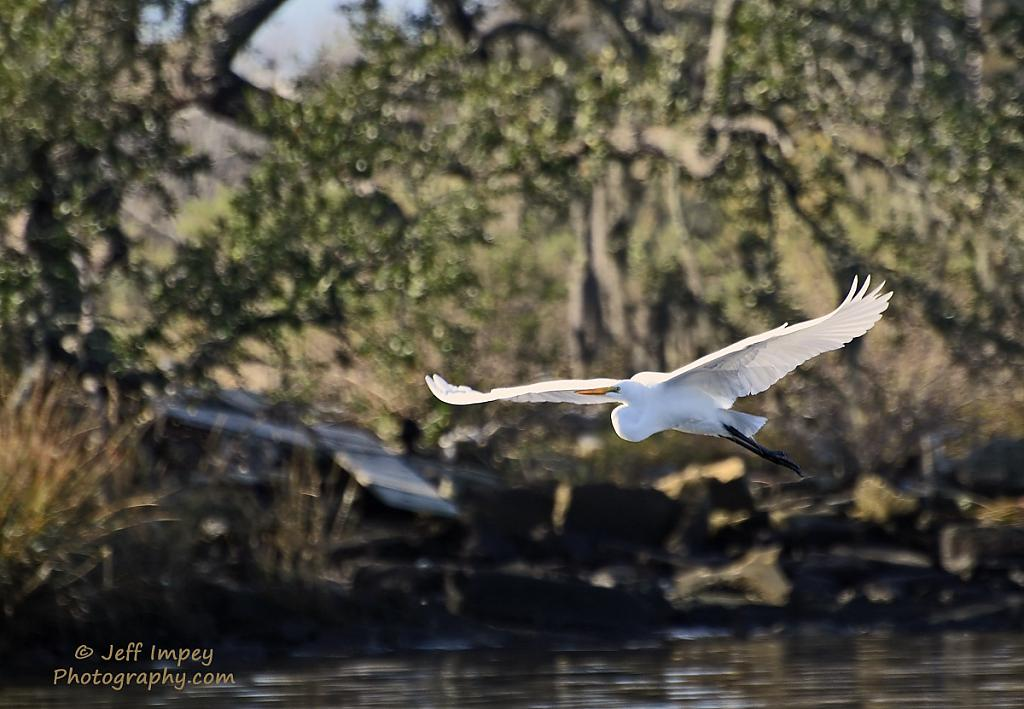 Snowy Egret in flight by grandpaw in Member Albums