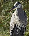 Portrait of a Blue Heron by grandpaw in Member Albums