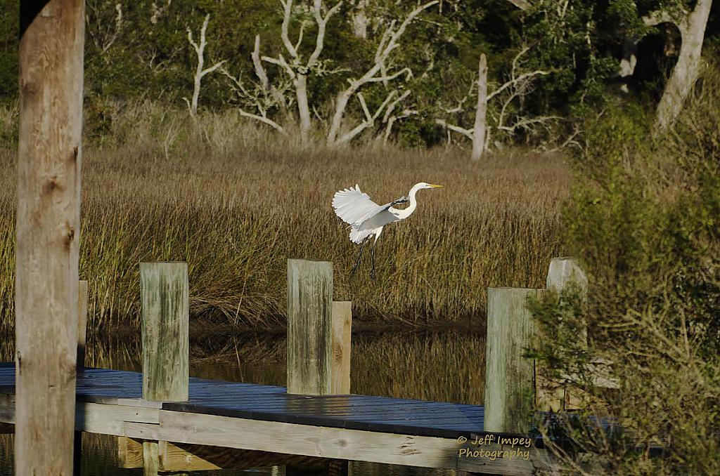 White Egret in flight. by grandpaw in Member Albums