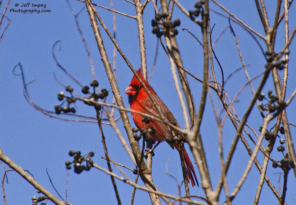 Cardinal by grandpaw in Member Albums