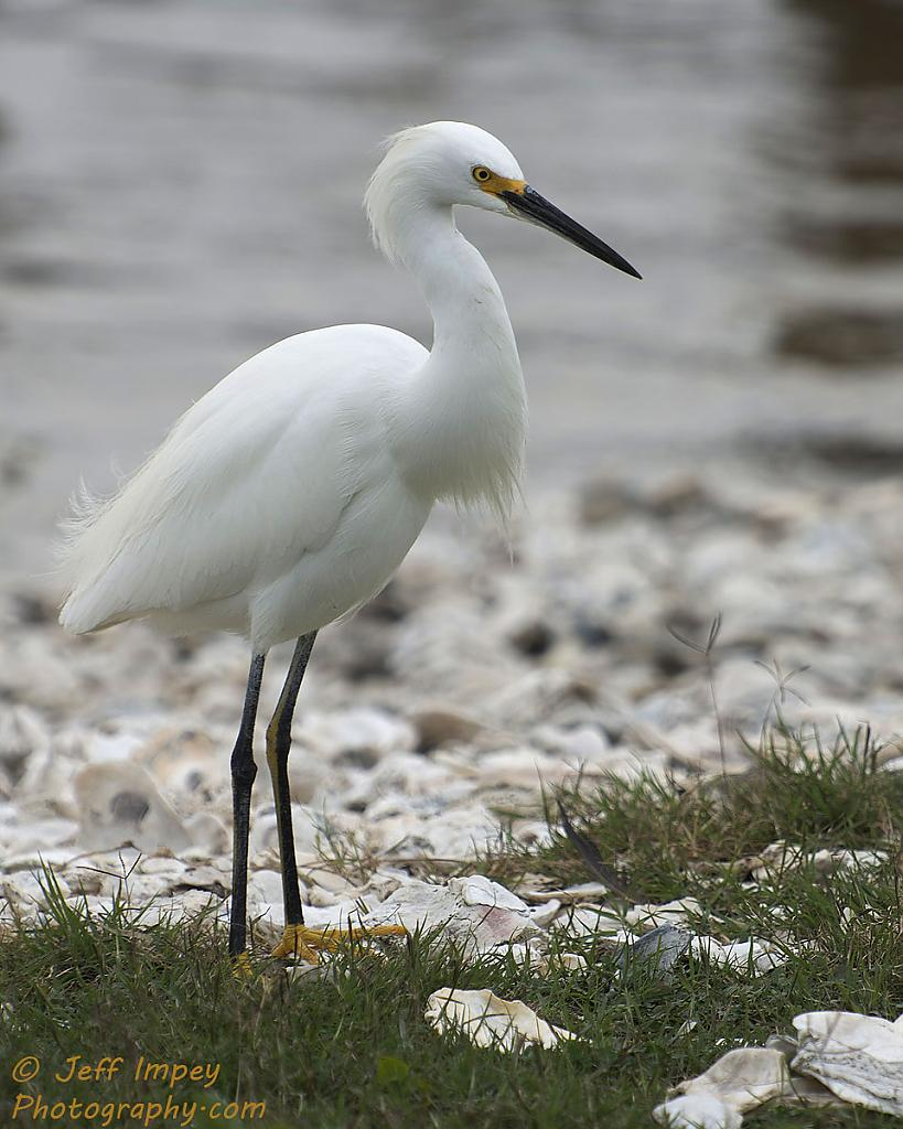 Portrait of a Snowy Egret by grandpaw in Member Albums