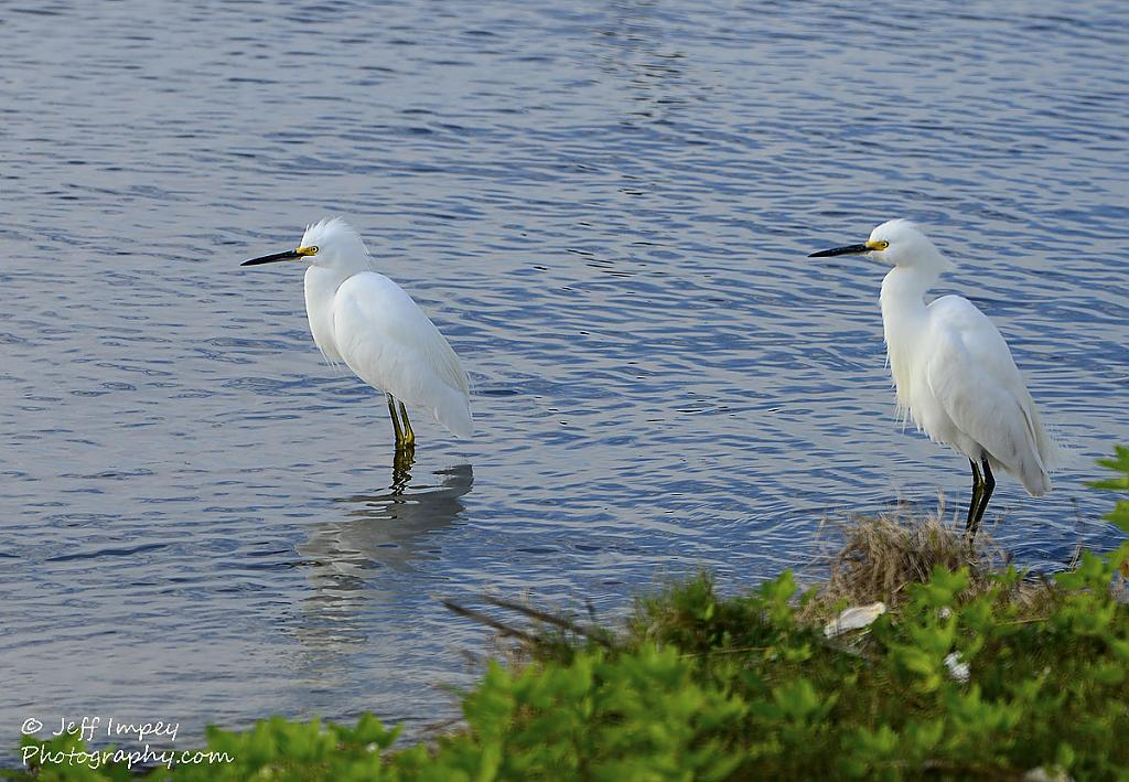 The Snowy Egret Twins by grandpaw in Member Albums