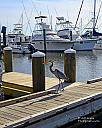 Blue Heron checking out the boats by grandpaw in Member Albums