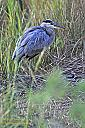 Blue Heron by grandpaw in Member Albums