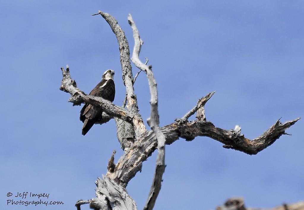 Osprey up high by grandpaw in Member Albums