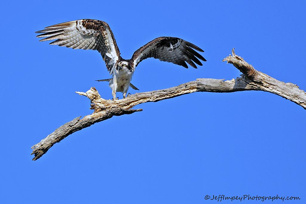 Osprey out on a limb by grandpaw in Member Albums