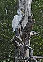 White egret by grandpaw in Member Albums