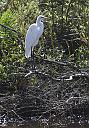 Great White Egret by grandpaw