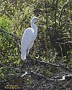 Snowy Egret by grandpaw in Member Albums