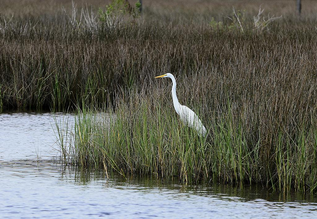Great White Egret in the marsh by grandpaw in Member Albums
