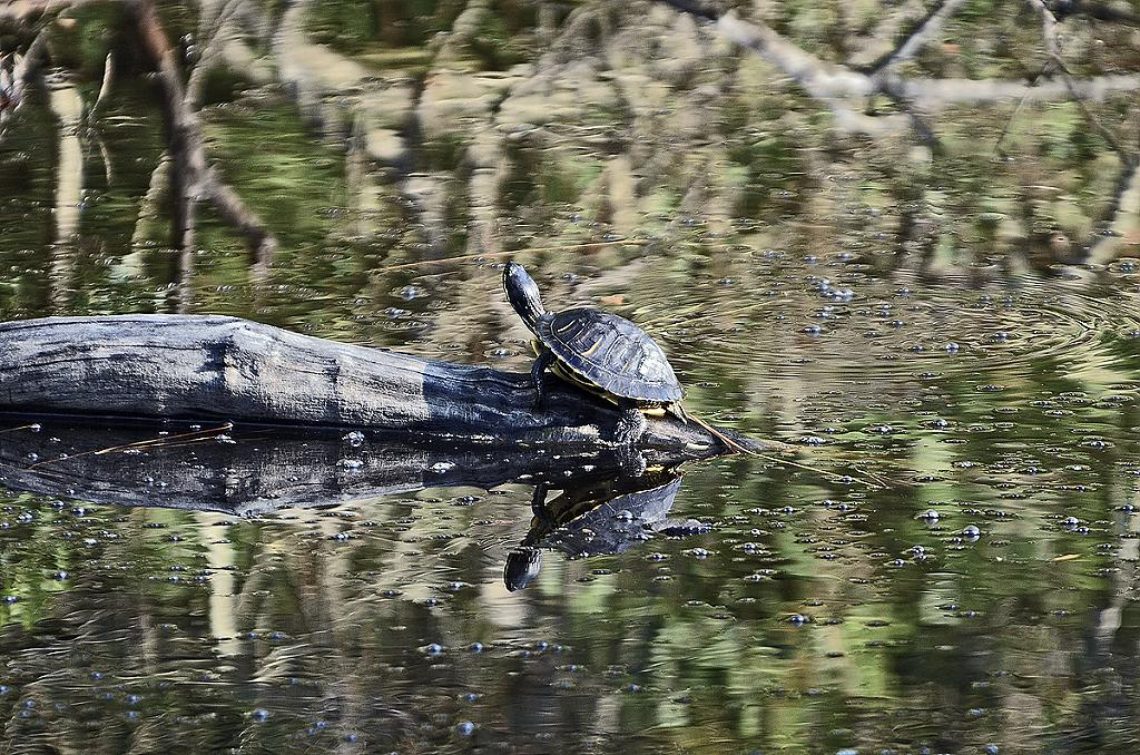 Turtle on a log by grandpaw in Member Albums