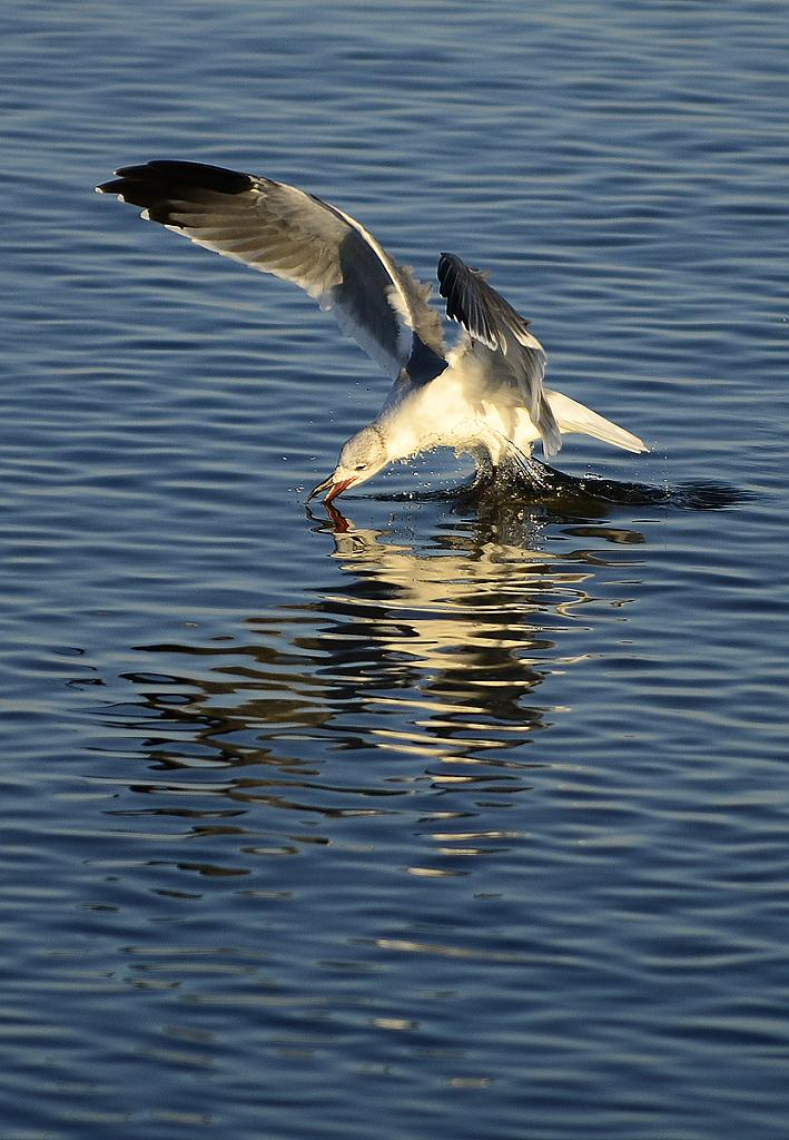 Seagull fishing in the Gulf of Mexico by grandpaw in Member Albums
