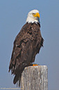 Eagle by grandpaw in Member Albums