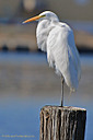 Great Egret by grandpaw in Member Albums