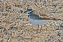 Killdeer by grandpaw in Member Albums