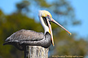 Brown pelican yawning by grandpaw in Member Albums