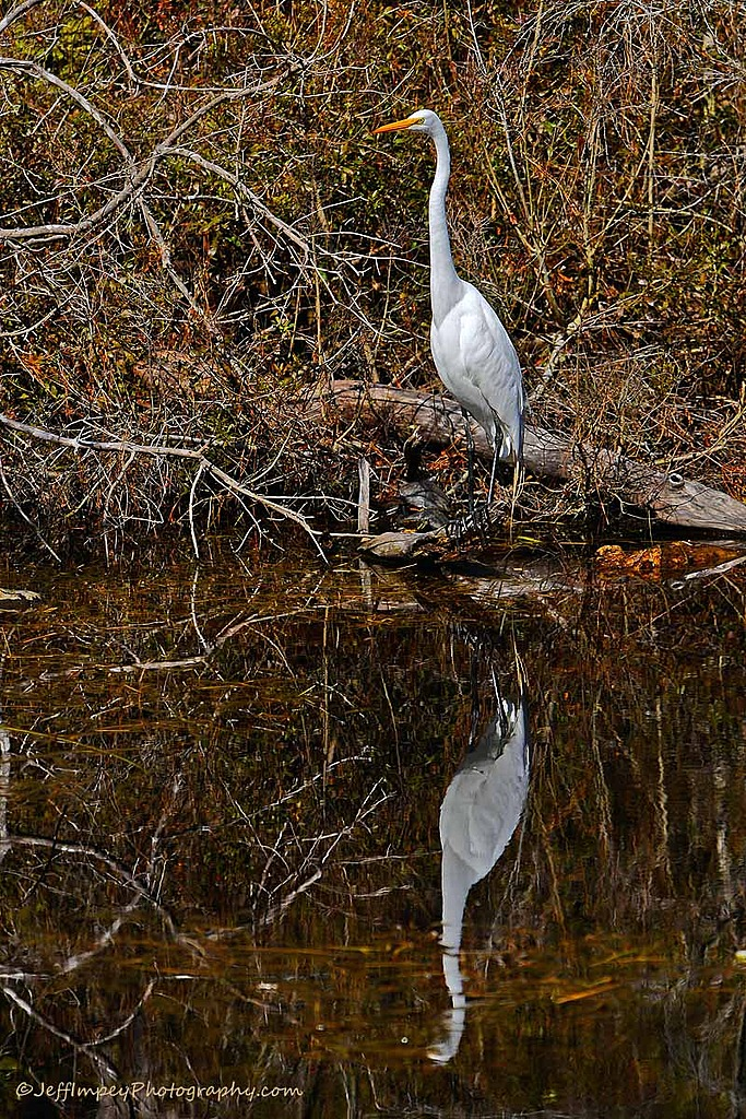 Great Egret with reflection. by grandpaw in Member Albums
