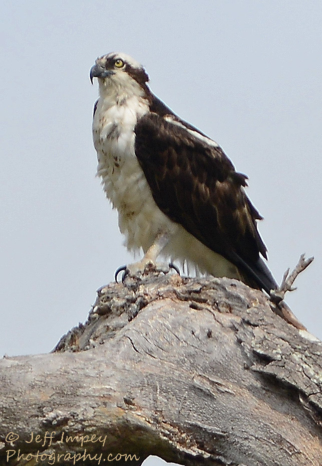 Osprey by grandpaw in Member Albums
