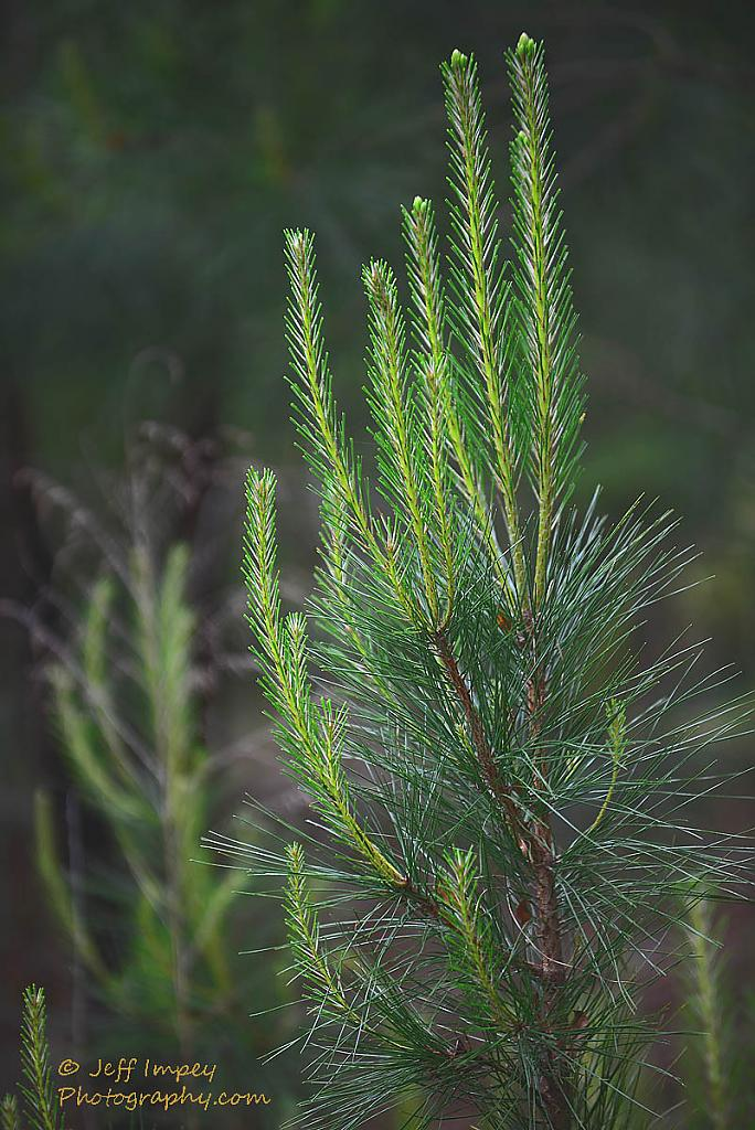 a young pine by grandpaw in Member Albums
