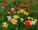 Tiptoe throuhj thr tulips by grandpaw in Member Albums