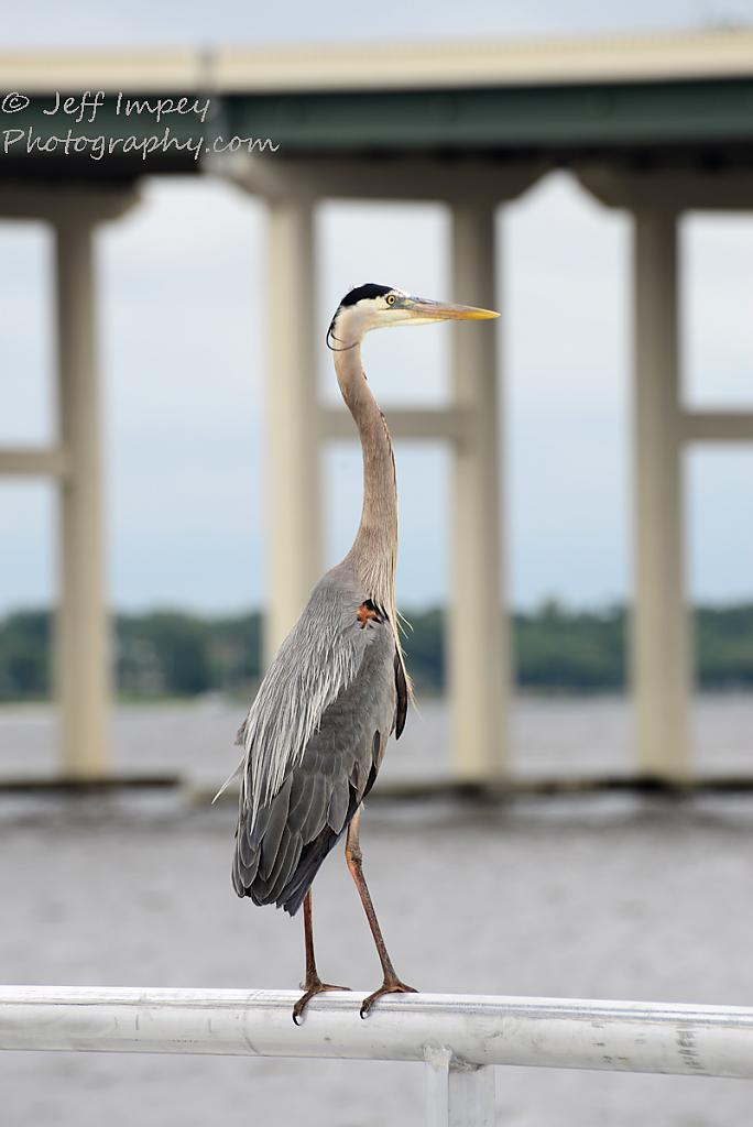 Blue Heron on a railing. by grandpaw in Member Albums