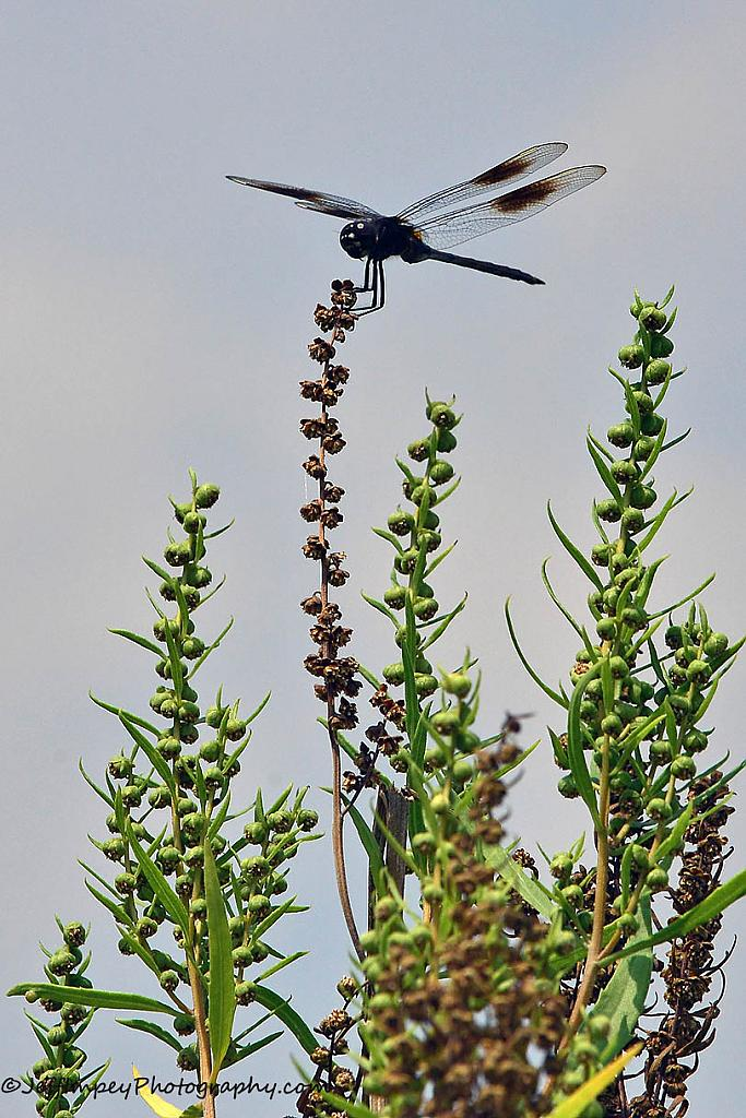 Dragonfly by grandpaw in Member Albums