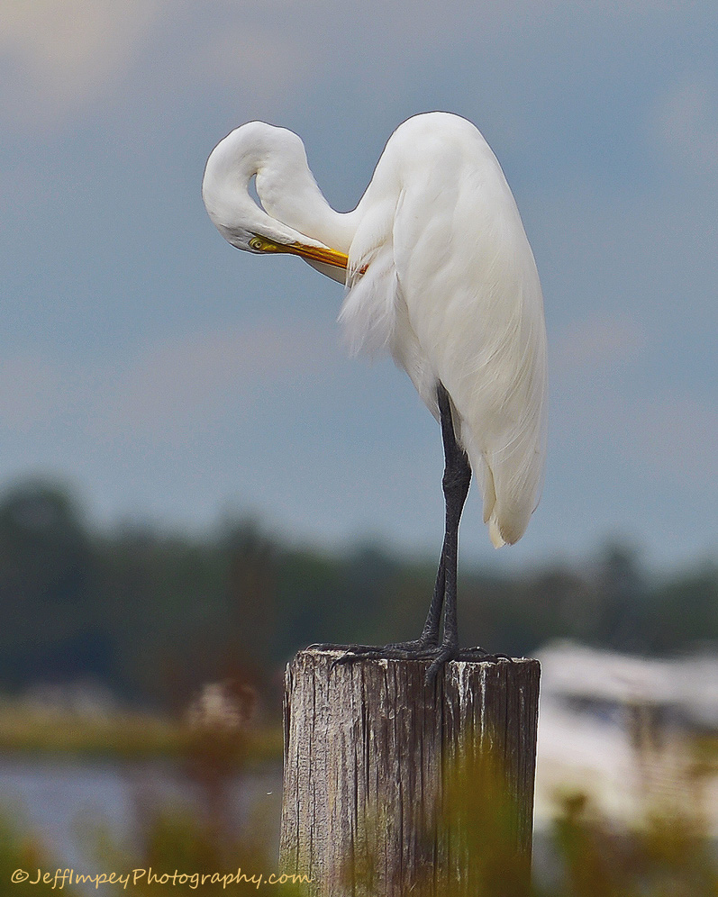 Another Egret by grandpaw in Member Albums