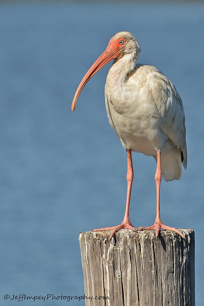 Ibis on pole by grandpaw in Member Albums