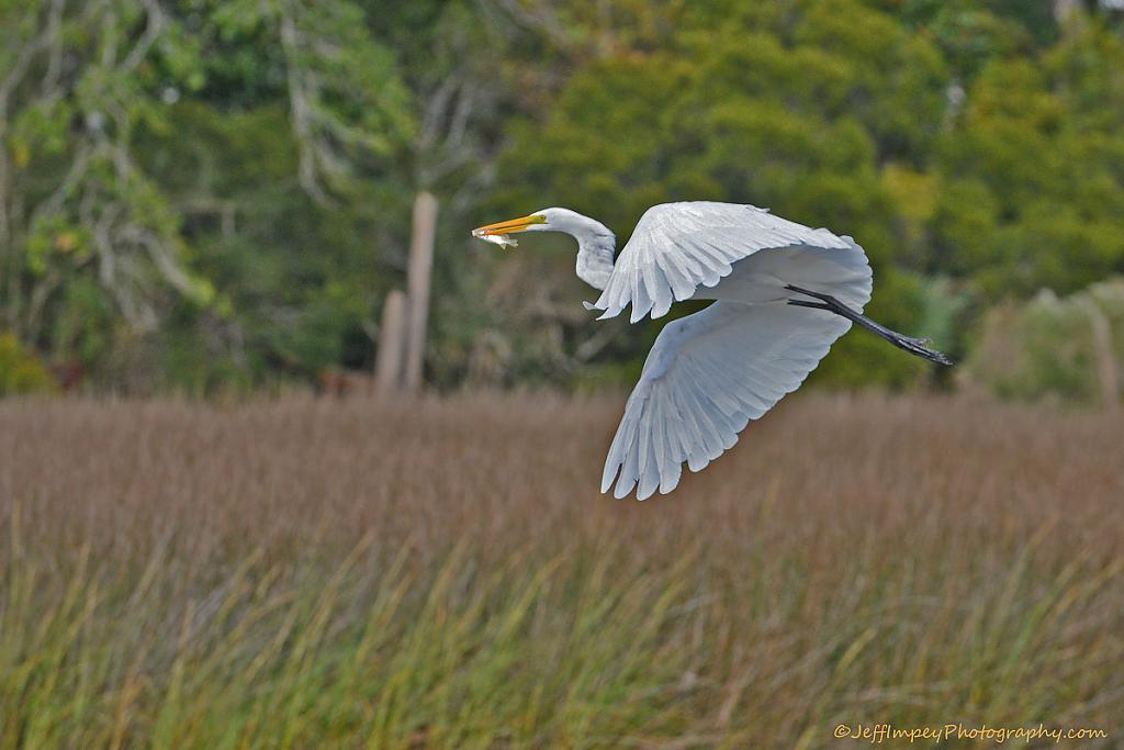 Great Egret BIF with lunch by grandpaw in Member Albums