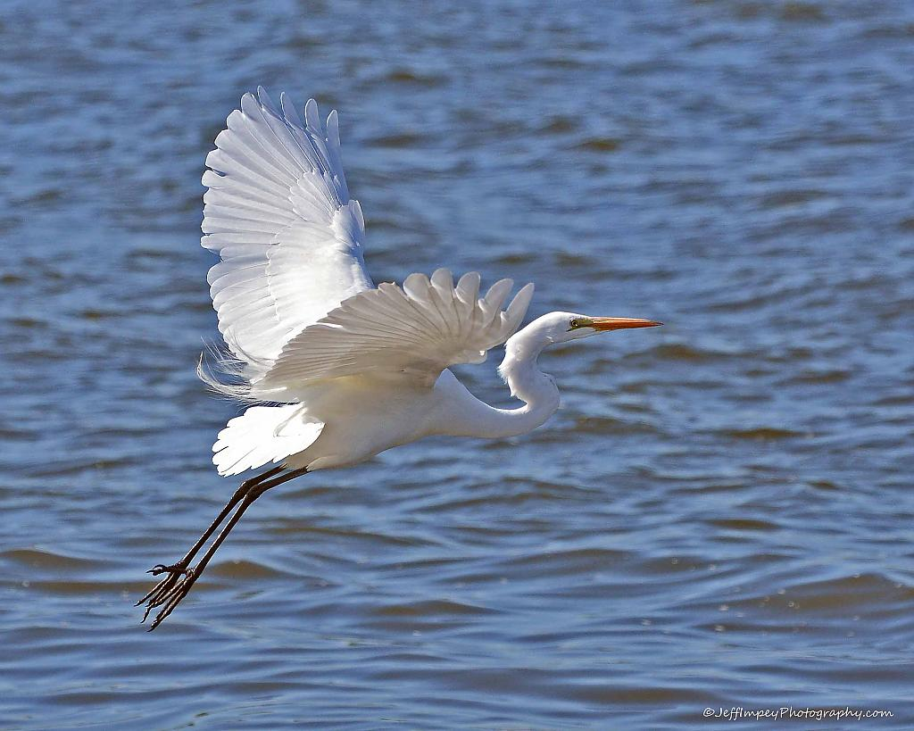 Great Egret BIF by grandpaw in Member Albums