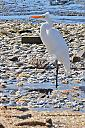 Great Egret checking out the shoreline. by grandpaw in Member Albums