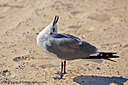 A yodeling seagull by grandpaw in Member Albums