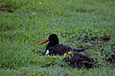 Oyster catcher by nikonjim in Member Albums