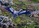 Blue Heron in Flight by Essence of Imagery in Wildlife and Nature