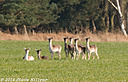 Roe Deer - Crop by SteveH in Steve's Shots
