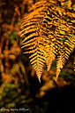 Autumn Bracken by SteveH in Steve's Shots