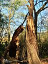 Twisted Trunk by Papa Roe in Member Albums