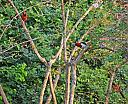 Woodpecker and two cardinals by Debrus