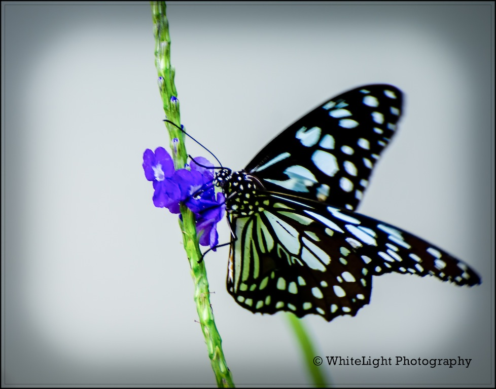 ButterFly by WhiteLight in Member Albums