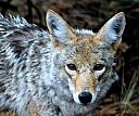 Mr. Wyl-e-coyote by skooter1 in Member Albums