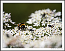 The bee by Iansky in D500 Images