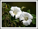 Twin blooms by Iansky in D500 Images