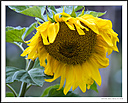 Sunflower by Iansky