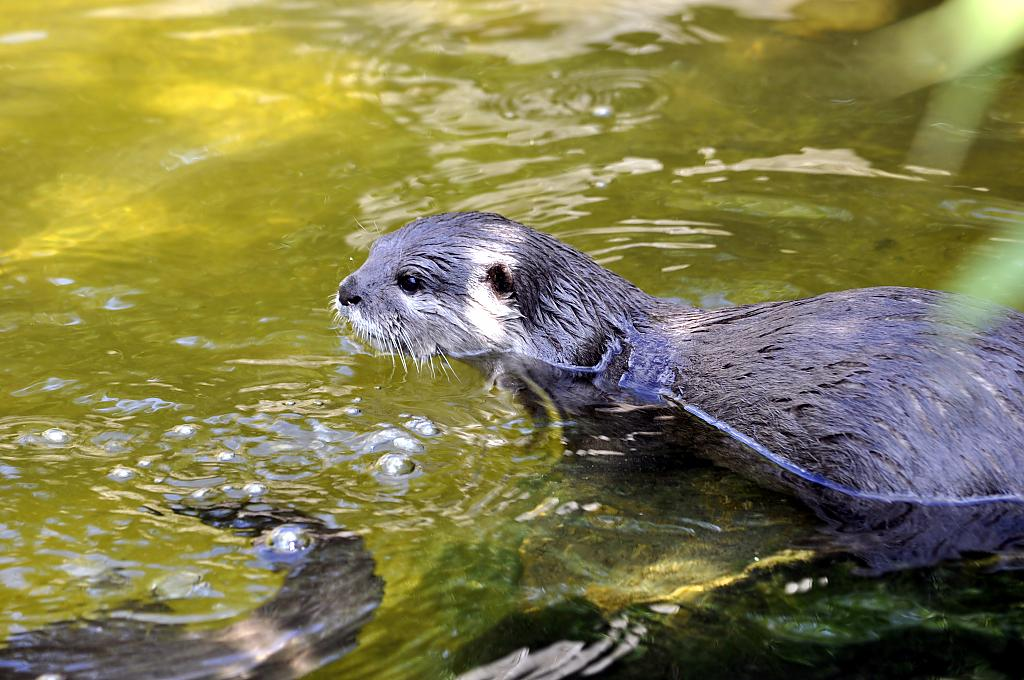 ORIENTAL SHORT-CLAWED OTTER by Nikon Photographer in Member Albums
