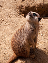 Meerkat by Nikon Photographer in Member Albums