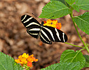 Heliconius charithonia by Nikon Photographer in Member Albums