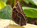 Owl Butterfly by Nikon Photographer in Member Albums