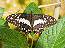 "Papilio demoleus ""Lime butterfly"" by Nikon Photographer in Member Albums"