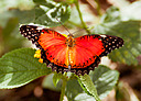 """Cethosia biblis """"Red Lacewing"""" by Nikon Photographer in Member Albums"""
