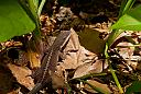 Brown Anole by N_Addy in Member Albums